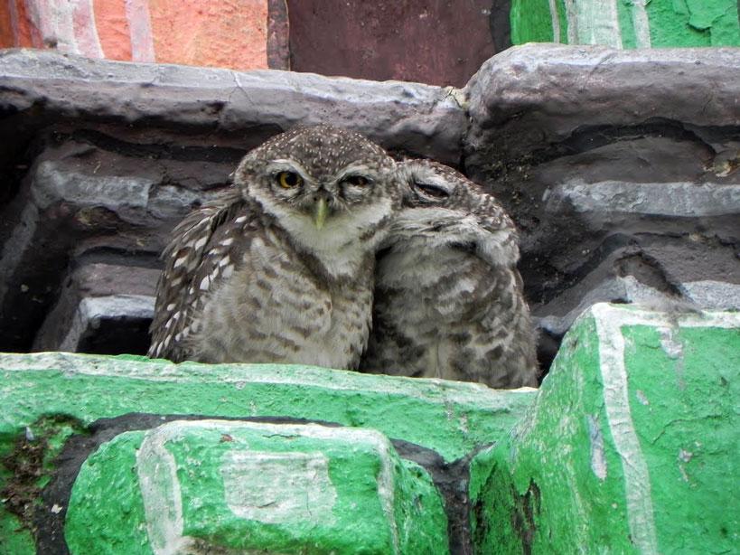 SPOTTED OWLETs - Athene brama - FOUND IN THE ADI KUMBESWARAR TEMPLE TOWER, KUMBAKONAM, TAMILNADU, INDIA